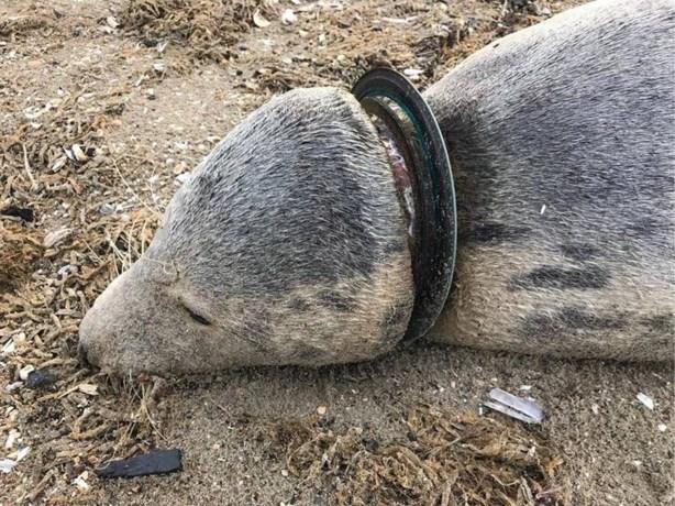 Twee dode zeehonden aangespoeld in Nederland: gestikt door zwerfafval