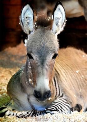 Wanneer je een zebra en ezel in dezelfde wei zet: zeldzame zezel geboren