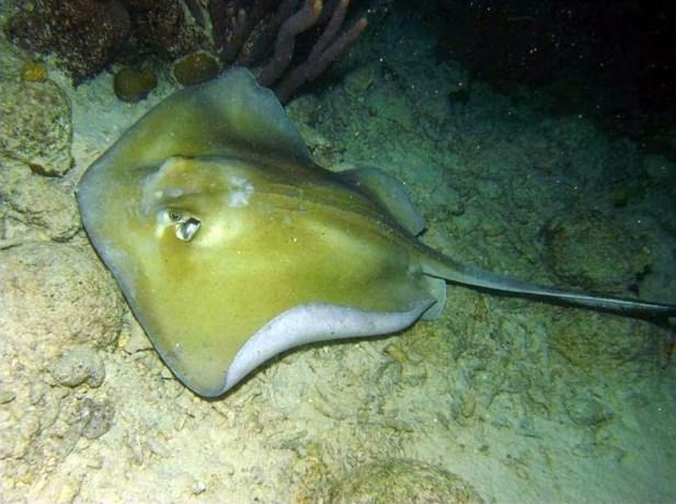 Pijlstaartrog doodt zwemmer voor Australische kust
