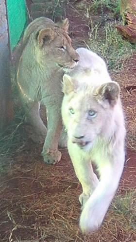 Zuid-Afrikaanse overheid veilt bedreigde witte leeuw aan jagers die hem willen doodschieten