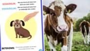 """PETA wil af van 'dieronvriendelijke' spreekwoorden: """"Stop met oude koeien uit de sloot te halen"""""""