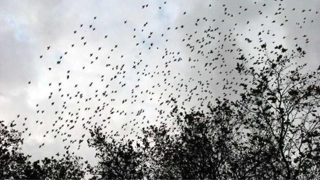 Honderden spreeuwen vallen dood uit bomen in Nederlands park, onderzoek legt vermoedelijke oorzaak bloot
