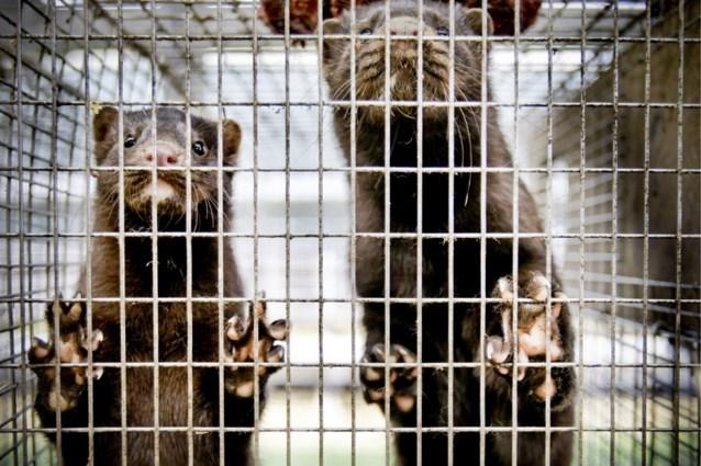 Vlaanderen verbiedt pelsdierkweek en dwangvoederen