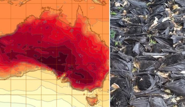 Vleermuizen vallen uit bomen, fruit kookt vanzelf en nachttemperaturen boven 36 graden: hittegolf in Australië bereikt hoogtepunt