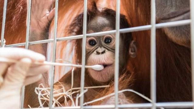 Verzorgers schrikken zich rot: mannetje in hok is niet papa van pasgeboren orang-oetan, maar buurman achter het hek wel