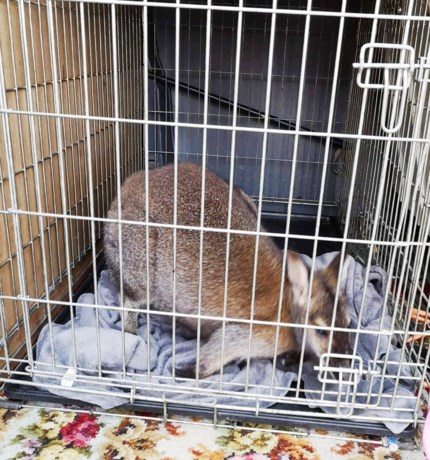 """Ontsnapte kangoeroe is gevangen en stelt het goed: """"We hebben al een nieuwe thuis voor hem gevonden"""""""