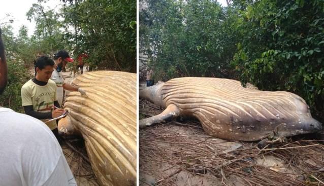 11 meter lange bultrug dood aangetroffen in midden van jungle: wetenschappers staan voor raadsel