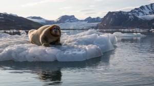 Arctische walvissen passen dieet aan door klimaatverandering, bij zeehonden lukt dat niet