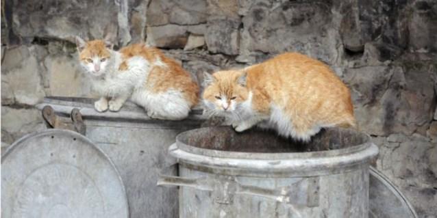 Strijd tegen zwerfkatten gaat verder