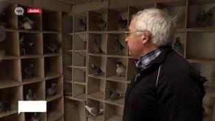 Duivenmelkers zien hun prijsduiven almaar meer verdwijnen in klauwen van roofvogels