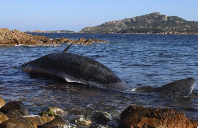 Zwangere walvis dood aangespoeld met 22 kilo plastic in maag