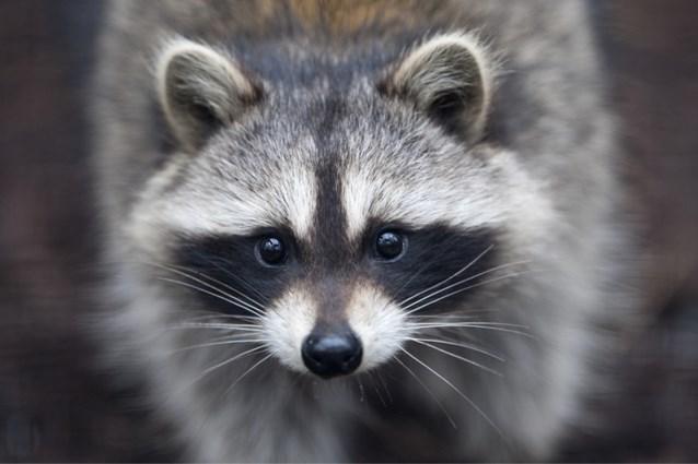 Europa dwingt lidstaten jacht te maken op wasberen