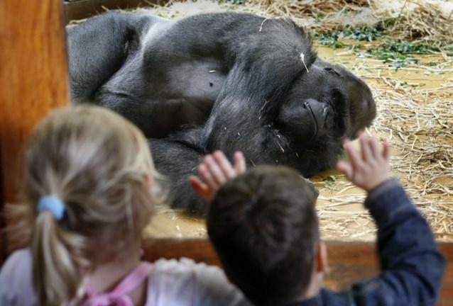 Nieuwe regel voor dierentuinen: apen moeten zich kunnen verstoppen
