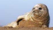 Niet elke zeehond op strand is in nood: zo herken je een ziek dier