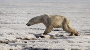 Uitgeputte ijsbeer teruggevonden 700 km van zijn thuis