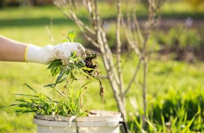 Roundup en klassieke verdelgers mogen niet meer: hoe krijg je dat onkruid in je tuin nu weg?