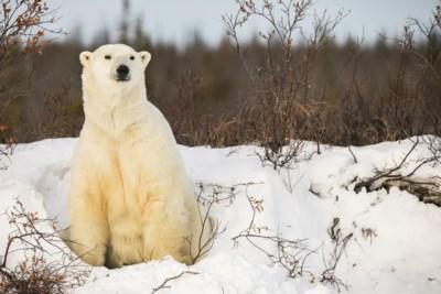 """Controverse over nieuwste aanwinst van Pairi Daiza: """"Een ijsbeer is geen panda"""""""