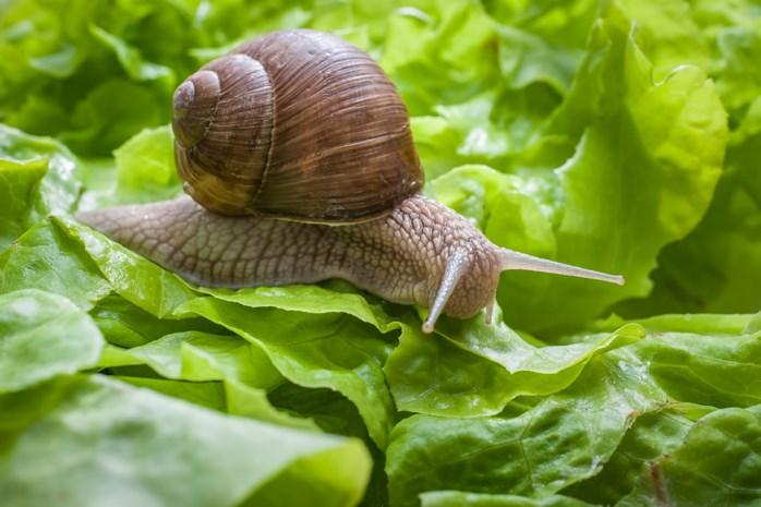 Slakken in de tuin: zo hou je ze weg van je sla en je bloemen