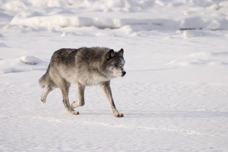 Reusachtige kop van 40.000 jaar oude wolf uit de ijstijd gevonden in Siberië
