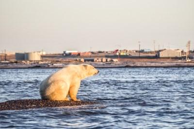 Voor de ijsbeer is het stilaan te laat: populatie grootste landroofdier krimpt tegen 2050 met een derde