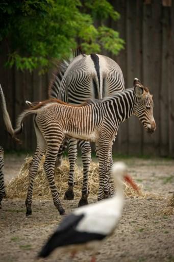 Heuglijk nieuws in Planckendael: kleine zebra Uzuri geboren