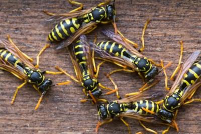 Als je een wesp doodslaat, worden de andere dan agressiever?