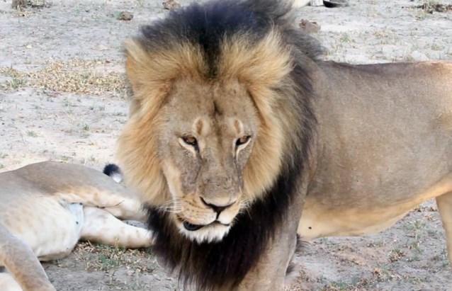 Nieuw leven voor Simba: Nederlanders redden fel verzwakte leeuw op Iraakse markt