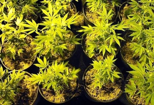Cannabisplantage ontdekt in pizzeria in centrum van Kortrijk