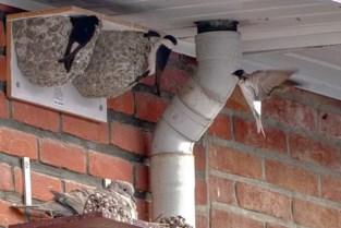 """Rupelstreek telt weer 180 bewoonde huiszwaluwnesten: """"In 2003 waren er nog amper te bespeuren"""""""