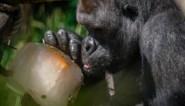 Hoe schadelijk is deze hitte voor de dieren in de zoo? En hoe krijgen ze verkoeling?