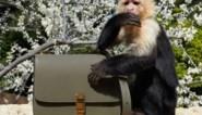 Yves Saint Laurent op de vingers getikt voor opvoeren aapje