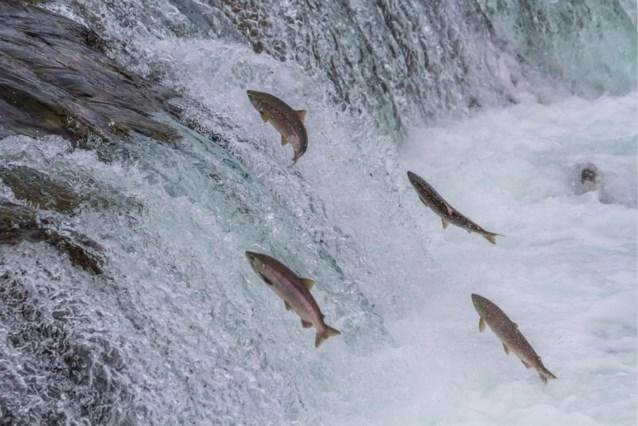 Water in Alaska door klimaatverandering zo warm dat zalmen er massaal sterven