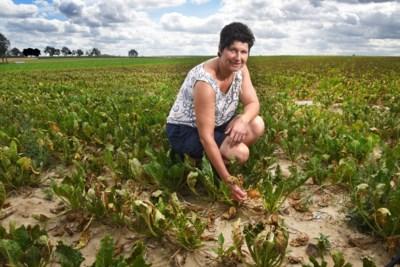 Boeren hopen op erkenning als landbouwramp: schade door hittegolf erger dan gevreesd