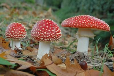 Alarmfase rood met witte stippen: verkeer en bemesting brengen paddenstoelen in gevaar