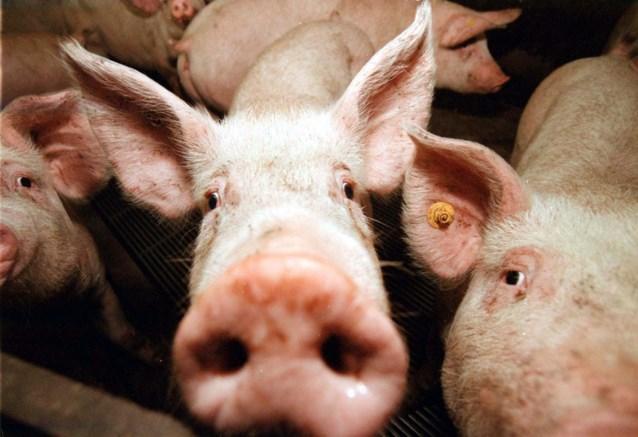 """Animal Rights dient klacht in na mislukte reddingsoperatie van varkens in beerput: """"Waarom werden de dieren achtergelaten?"""""""