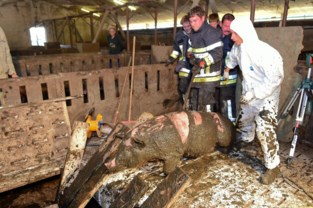 """Varkenshoudster verbolgen over beschuldigingen Animal Rights: """"We hebben ons eigen leven geriskeerd voor die varkens"""""""