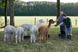 Zorgboerderij Rommeshoef krijgt vijf alpaca's cadeau