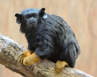 Man opgepakt die aapje voor 3.800 euro wou verkopen via 2dehands.be