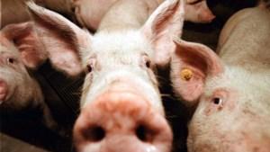 Prijzen voor varkensvlees pieken