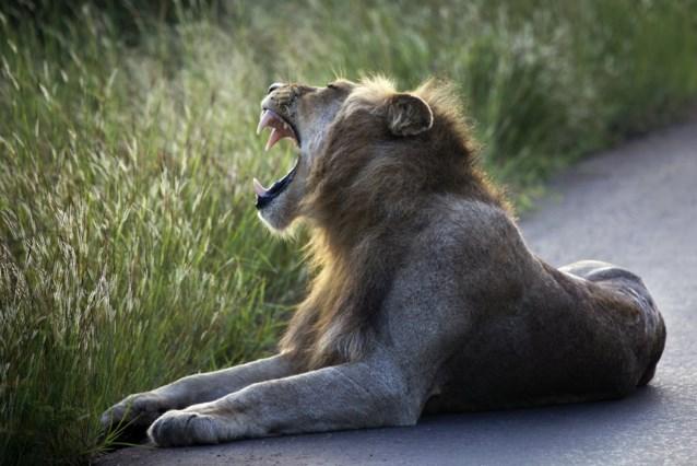 Man verscheurd door eigen leeuwen