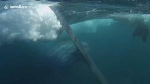 Aan de dood ontsnapt: snorkelaar filmt hoe hij net niet wordt opgeslokt door een walvis