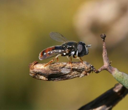 Van het piemelkrieltje tot het boommuggenstrontjesmos: waar komen die gekke namen toch vandaan?