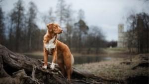 """""""De situatie is heel ernstig"""": al minstens twintig honden gestorven door mysterieuze ziekte in Noorwegen"""