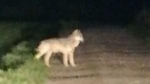 Wolf in Hoge Venen krijgt naam Akela