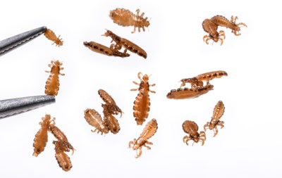 """Hoe een piepklein insectje de mensheid al eeuwenlang irriteert: """"Pas als de hele wereld zich kaal scheert, is het ermee gedaan"""""""