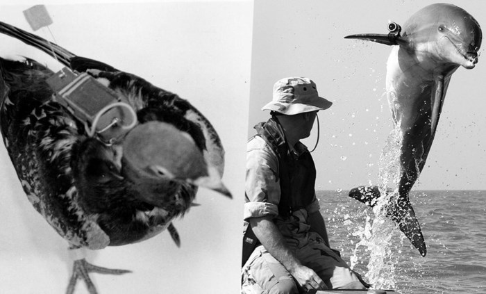 Van fotograferende duiven tot patrouillerende dolfijnen: de CIA rekruteerde een halve zoo voor spionagemissies