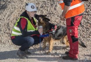 """Vlaamse reddingshonden zoeken tijdens grootschalige oefening naar … placenta: """"Zelfs een chihuahua kan speurhond worden"""""""