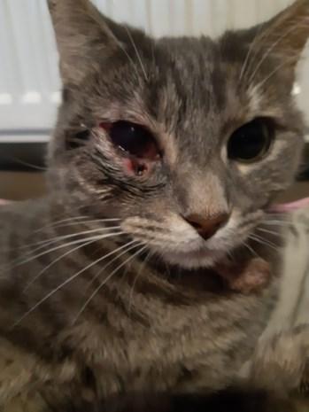 """Dierenbeul schiet kat met loodjesgeweer in de kop: """"Hopelijk kan Ziva haar oog behouden"""""""
