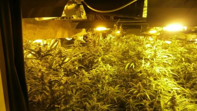 Achtduizend cannabisplanten met straatwaarde tot 15 miljoen euro vernield