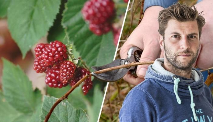 Frambozen zijn duur, daarom leert Bartel van Riet je hoe je zelf kweekt